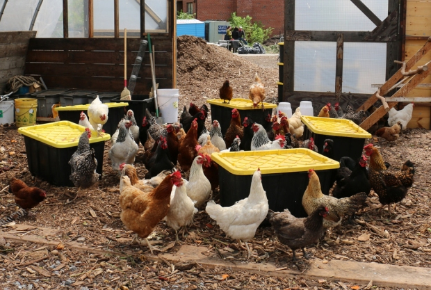Earth Matter Chickens Governorns Island Food Scrap