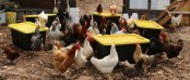 Earth Matter Chickens on Governors Island eat food scraps